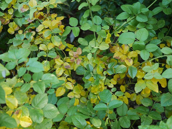 クイーン オブ ジ エルブス(Queen of the Elves)の葉が大量に黄色くなってきた。2020年-009.jpg
