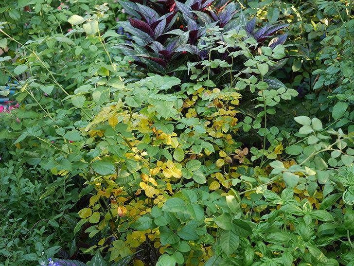 クイーン オブ ジ エルブス(Queen of the Elves)の葉が大量に黄色くなってきた。2020年-010.jpg