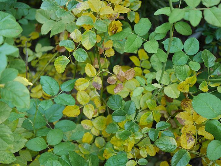 クイーン オブ ジ エルブス(Queen of the Elves)の葉が大量に黄色くなってきた。2020年-011.jpg
