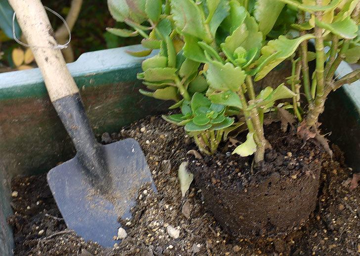 クイーン・カランコエを鉢に植え替えた3.jpg