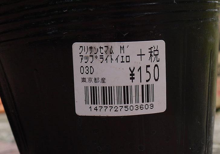 クリサンセマム・ムルチコーレ-アップライトイエローを買って来た3.jpg