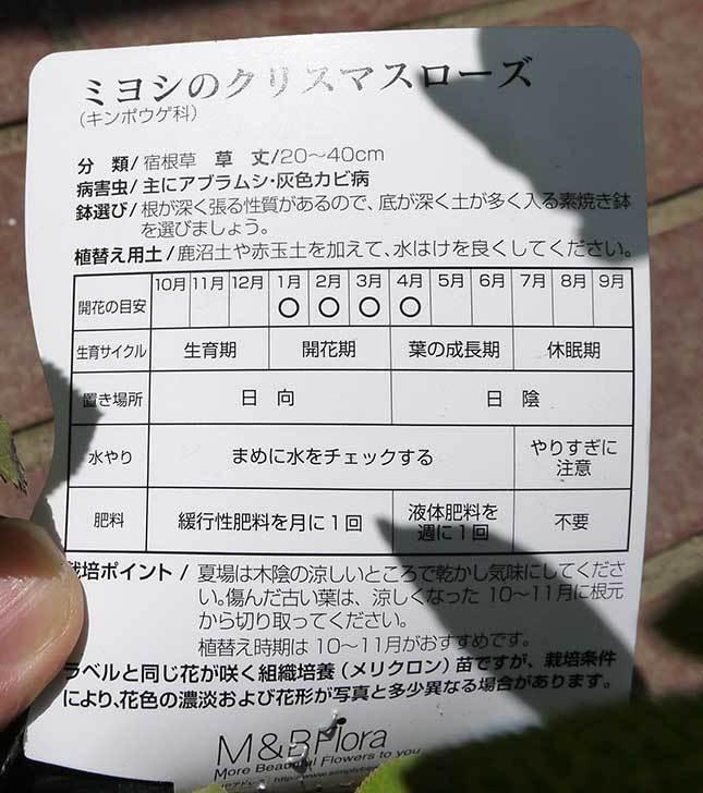 クリスマスローズ-アシュードホワイトシフォンがホームズで900円だったので買って来た6.jpg