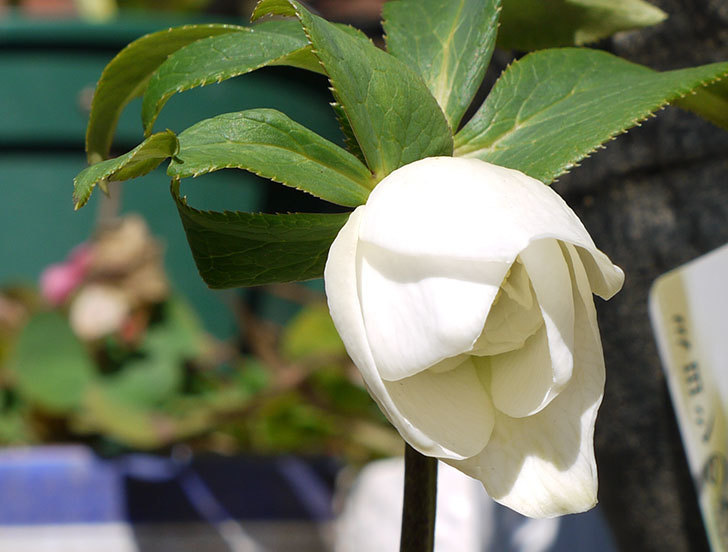 クリスマスローズ-アシュードホワイトシフォンの花が咲き始めた。2016年-3.jpg