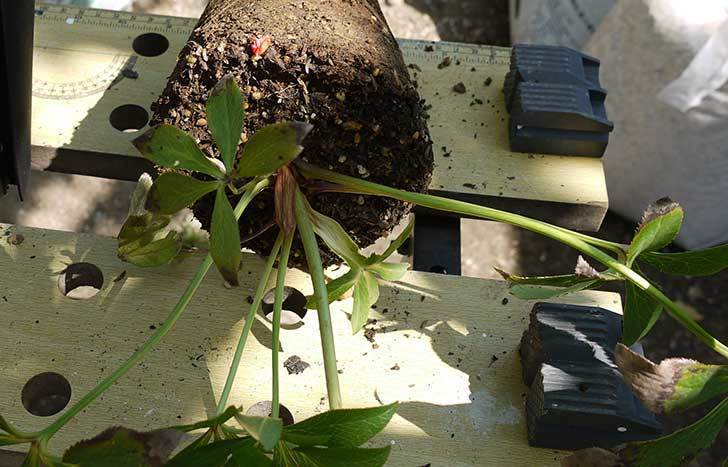 クリスマスローズ-アシュードホワイトシフォンをスリット鉢に植えた2.jpg