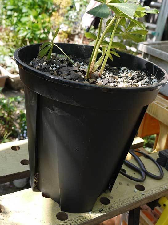 クリスマスローズ-アシュードホワイトシフォンをスリット鉢に植えた5.jpg