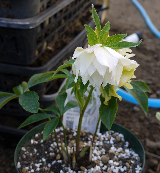クリスマスローズ-オリエンタリス-ダブル-ホワイトをスリット鉢に植えた。2016年-1.jpg