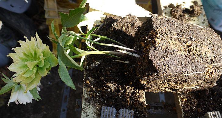 クリスマスローズ-オリエンタリス-ダブル-ホワイトをスリット鉢に植えた。2016年-2.jpg