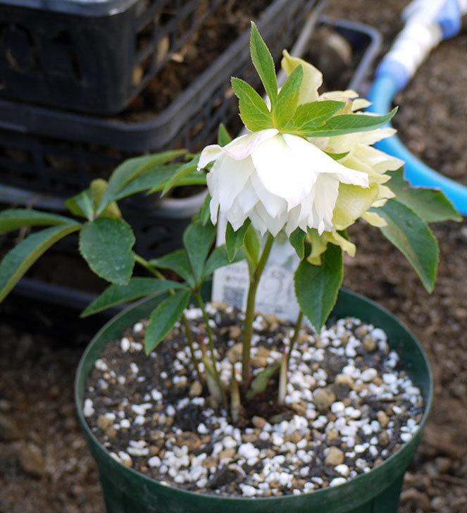 クリスマスローズ-オリエンタリス-ダブル-ホワイトをスリット鉢に植えた。2016年-6.jpg