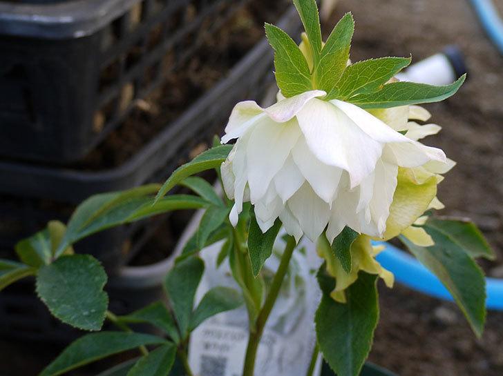クリスマスローズ-オリエンタリス-ダブル-ホワイトをスリット鉢に植えた。2016年-8.jpg