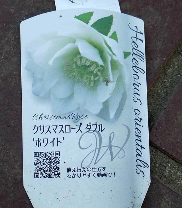 クリスマスローズ-オリエンタリス-ダブル-ホワイト買って来た。2016年-4.jpg