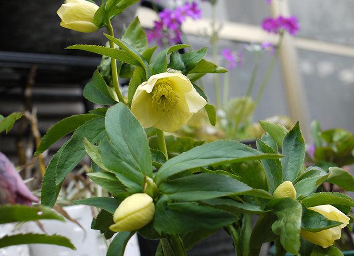 クリスマスローズ-オリエンタリスのシングル-黄緑の花が咲いた。2016年-1.jpg