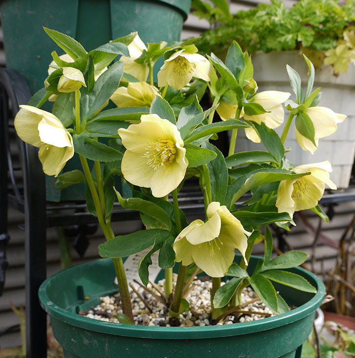 クリスマスローズ-オリエンタリスのシングル-黄緑の花が大量に咲いた。2016年-1.jpg