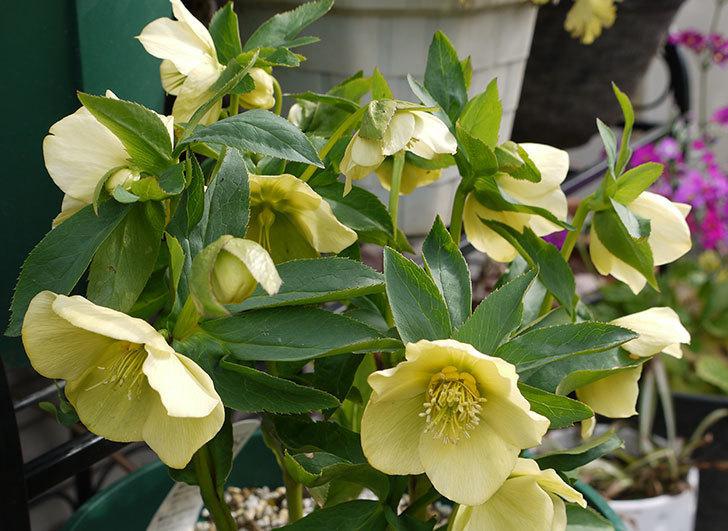 クリスマスローズ-オリエンタリスのシングル-黄緑の花が大量に咲いた。2016年-2.jpg