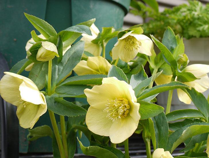 クリスマスローズ-オリエンタリスのシングル-黄緑の花が大量に咲いた。2016年-3.jpg