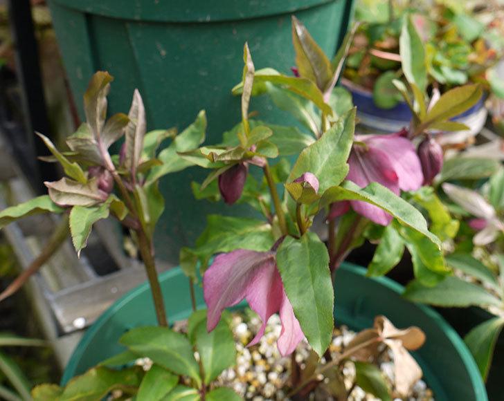 クリスマスローズ-オリエンタリスのシングル-黄緑の花が大量に咲いた。2016年-5.jpg