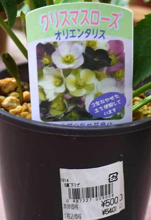 クリスマスローズ-オリエンタリスのシングルの黄緑が500円だったので買ってきた5.jpg