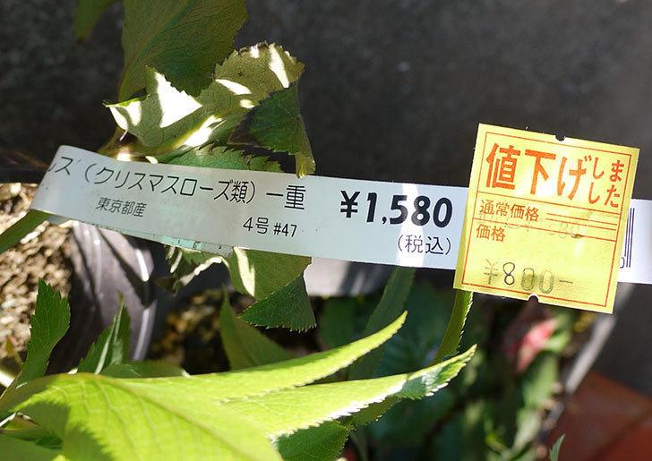 クリスマスローズ-シングルの4号鉢がホームズで800円だったので買って来た。2016年-5.jpg