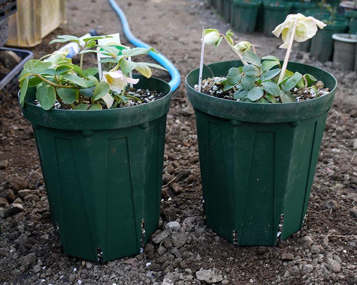 クリスマスローズ-ニゲルをスリット鉢に植えた。2016年-10.jpg
