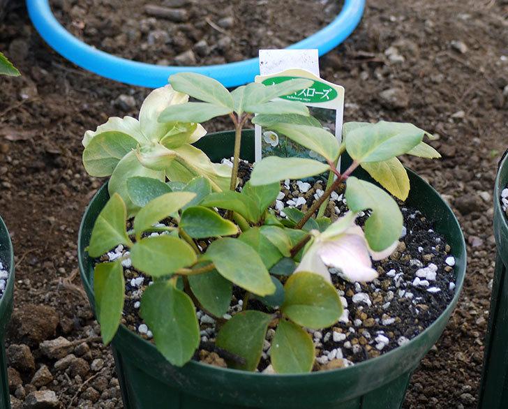 クリスマスローズ-ニゲルをスリット鉢に植えた。2016年-11.jpg