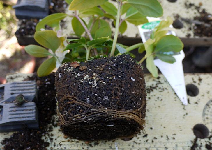 クリスマスローズ-ニゲルをスリット鉢に植えた。2016年-2.jpg
