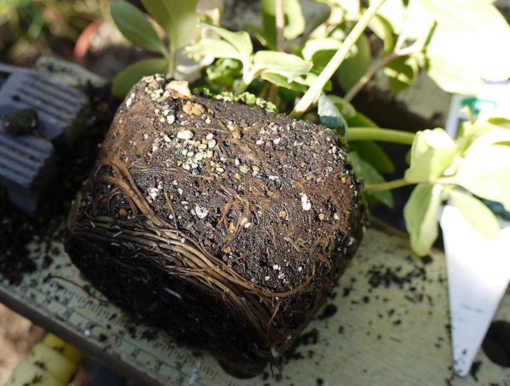 クリスマスローズ-ニゲルをスリット鉢に植えた。2016年-3.jpg