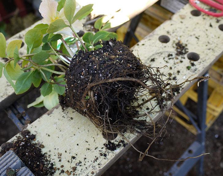 クリスマスローズ-ニゲルをスリット鉢に植えた。2016年-4.jpg