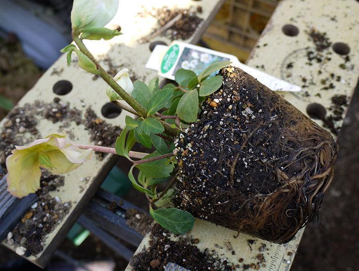 クリスマスローズ-ニゲルをスリット鉢に植えた。2016年-5.jpg