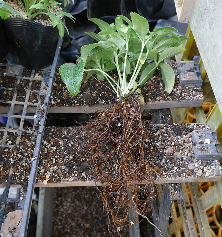 クリスマスローズの2年目苗を5号ロングタイプスリット鉢に植え替えた。2017年-5.jpg
