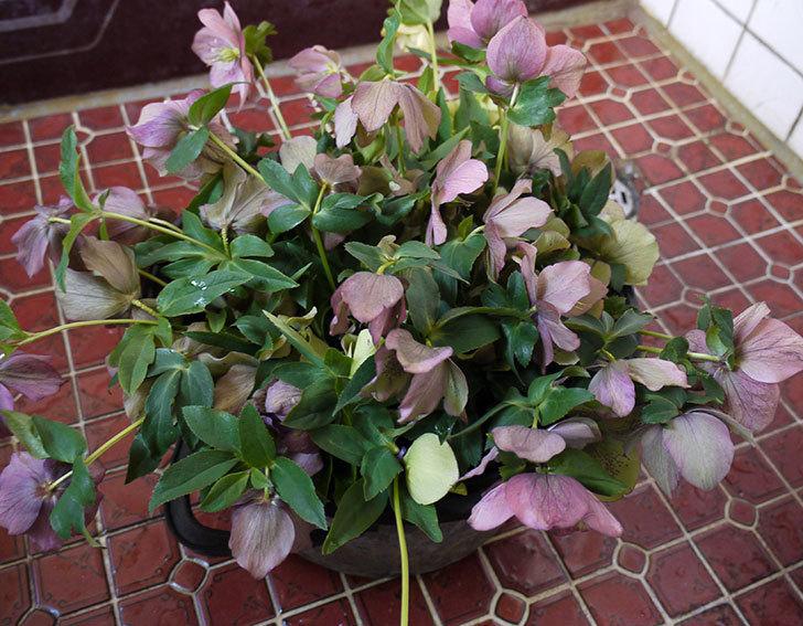 クリスマスローズの花を湯あげして切り花にした。2016年-14.jpg