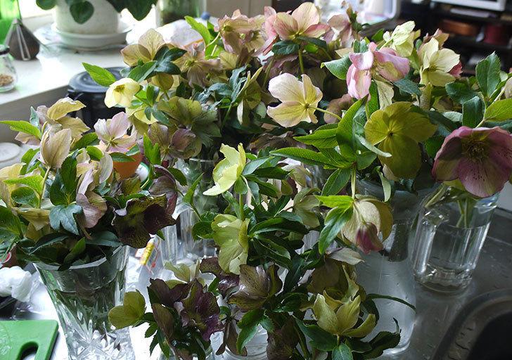 クリスマスローズの花を湯あげして切り花にした。2016年-15.jpg