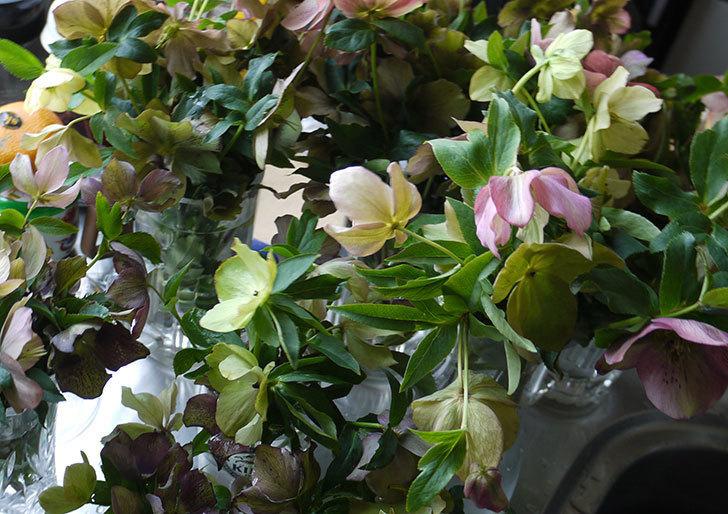クリスマスローズの花を湯あげして切り花にした。2016年-16.jpg