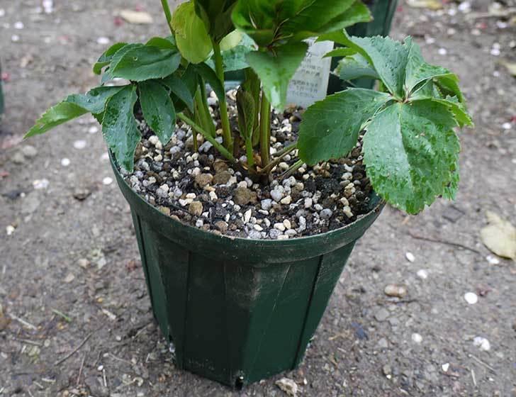 クリスマスローズをスリット鉢に植え替えた17.jpg