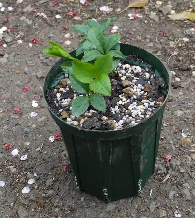 クリスマスローズをスリット鉢に植え替えた19.jpg