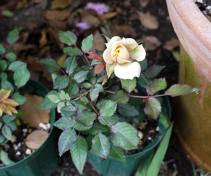 クリーム色のミニバラが咲いた。2016年-3.jpg
