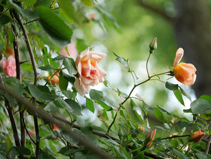 クレパスキュール(Crépuscule)の花が増えてきた。半ツルバラ。2021年-001.jpg