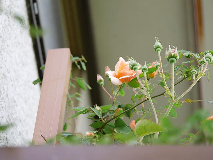 クレパスキュール(Crépuscule)の花が増えてきた。半ツルバラ。2021年-004.jpg