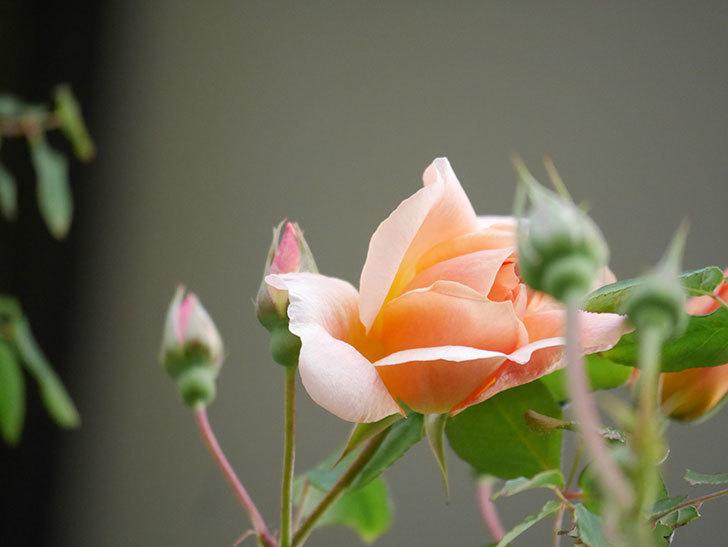 クレパスキュール(Crépuscule)の花が増えてきた。半ツルバラ。2021年-005.jpg