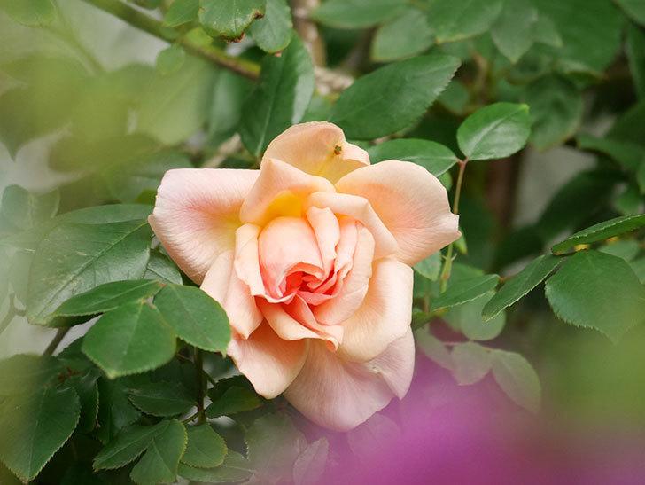 クレパスキュール(Crépuscule)の花が増えてきた。半ツルバラ。2021年-006.jpg