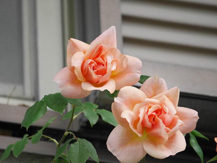クレパスキュール(Crépuscule)の花が増えてきた。半ツルバラ。2021年-008.jpg