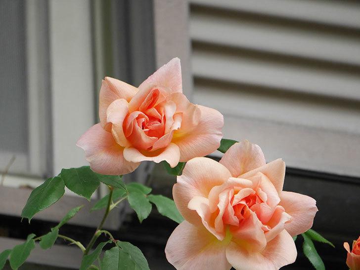 クレパスキュール(Crépuscule)の花が増えてきた。半ツルバラ。2021年-009.jpg