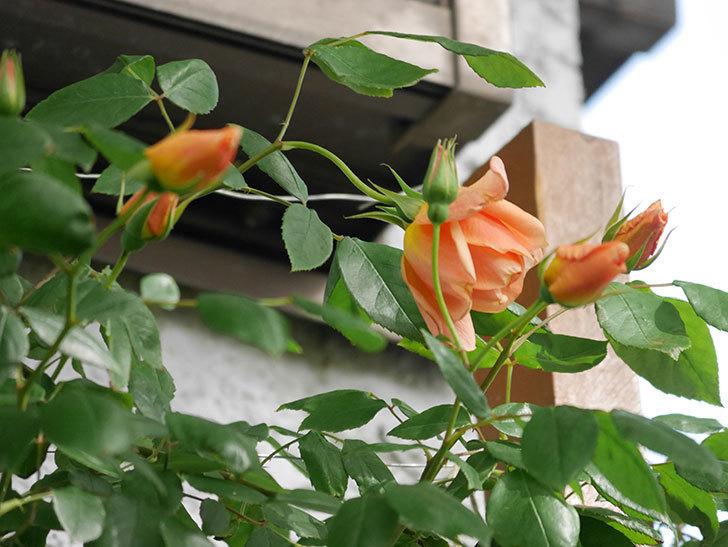 クレパスキュール(Crépuscule)の花が増えてきた。半ツルバラ。2021年-010.jpg
