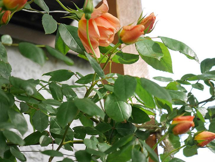 クレパスキュール(Crépuscule)の花が増えてきた。半ツルバラ。2021年-011.jpg