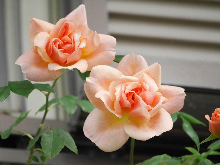 クレパスキュール(Crépuscule)の花が増えてきた。半ツルバラ。2021年-012.jpg