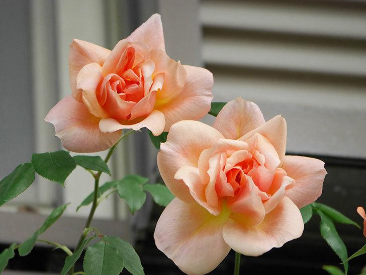 クレパスキュール(Crépuscule)の花が増えてきた。半ツルバラ。2021年-013.jpg