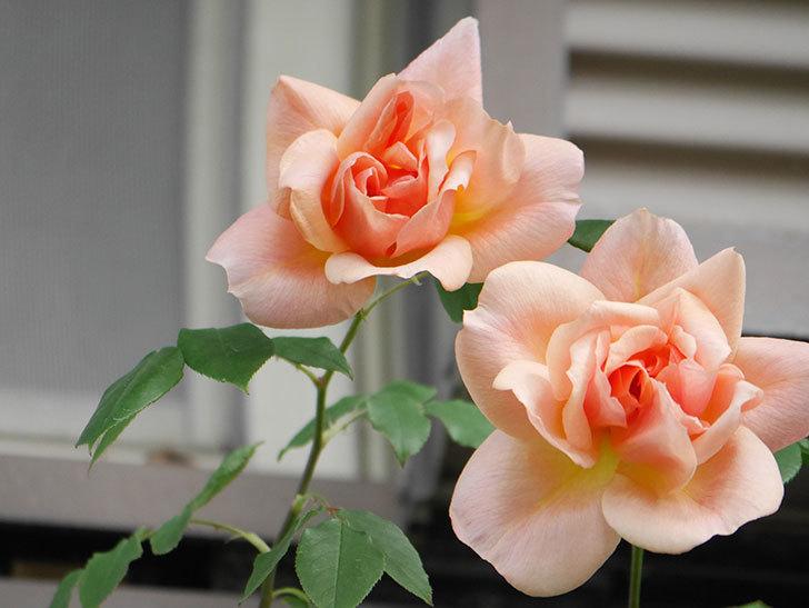 クレパスキュール(Crépuscule)の花が増えてきた。半ツルバラ。2021年-014.jpg