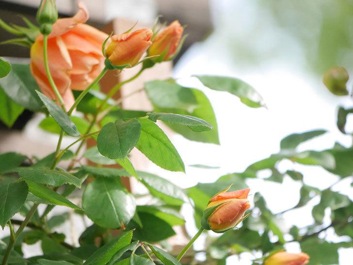 クレパスキュール(Crépuscule)の花が増えてきた。半ツルバラ。2021年-016.jpg