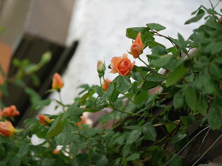 クレパスキュール(Crépuscule)の花が増えてきた。半ツルバラ。2021年-020.jpg
