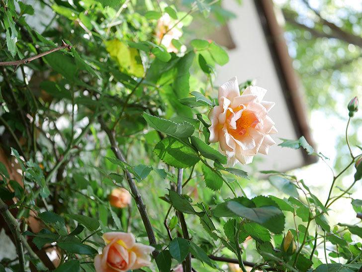 クレパスキュール(Crépuscule)の花が増えてきた。半ツルバラ。2021年-026.jpg