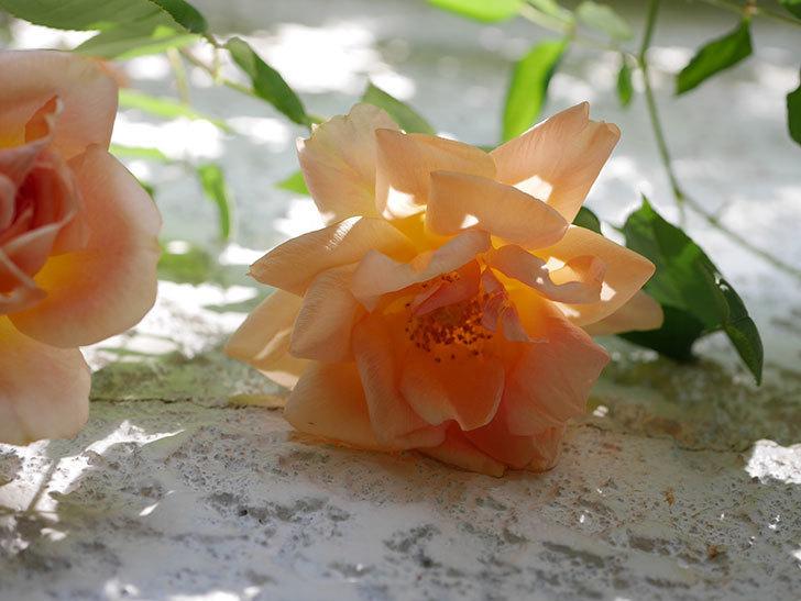 クレパスキュール(Crépuscule)の花が増えてきた。半ツルバラ。2021年-027.jpg