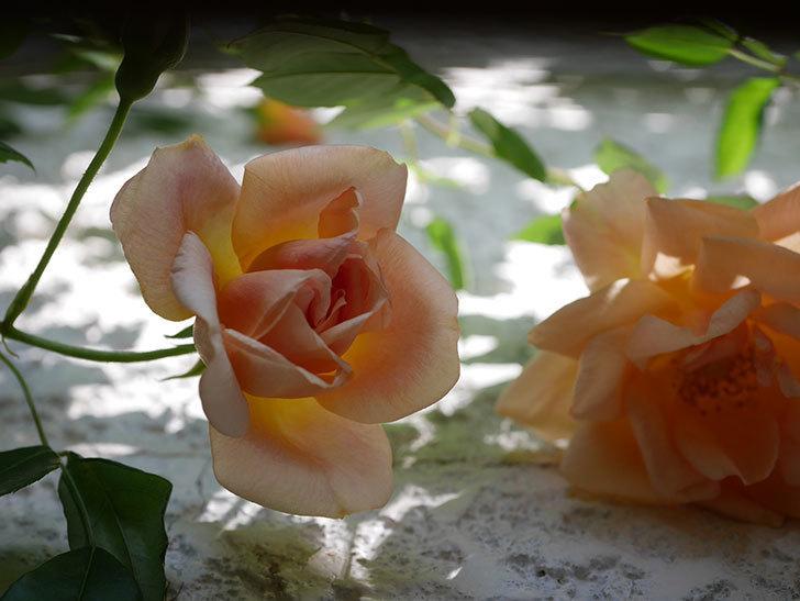 クレパスキュール(Crépuscule)の花が増えてきた。半ツルバラ。2021年-028.jpg